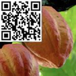 cocoa-bean-thumbnail-wiki-image